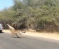Cheetah Chases Impala Into Tourist's Car